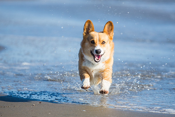 CorgiRunning 8 Photo Ideas Every Dog Lover Must Try