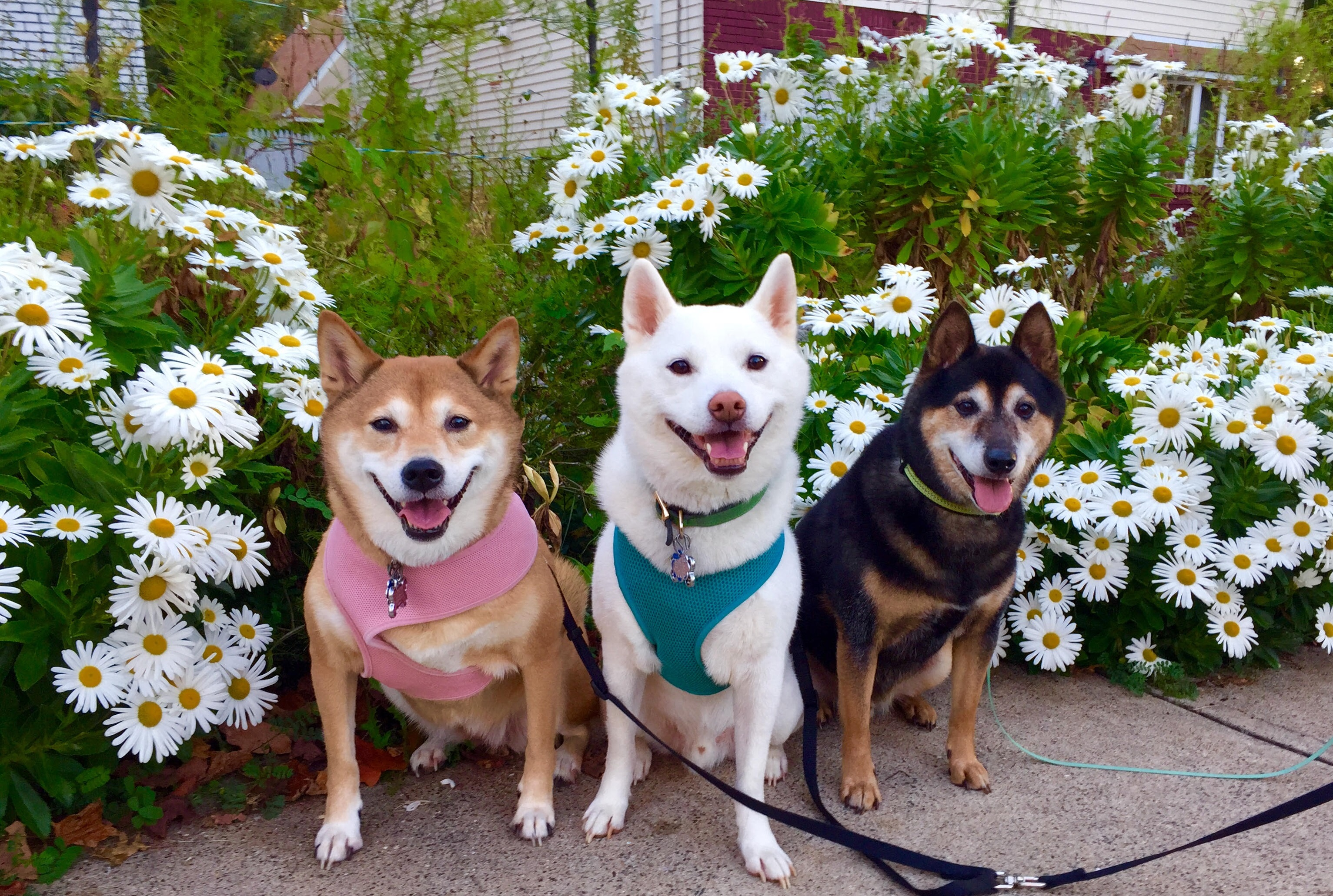 DogsFlowers Customer Art Spotlight: Shiba Inu Pet Portraits