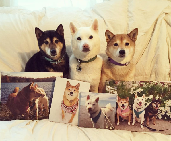 ShibaInu1 Customer Art Spotlight: Shiba Inu Pet Portraits